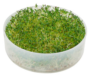 Victorio Tray with Full-Grown Broccoli Sprouts