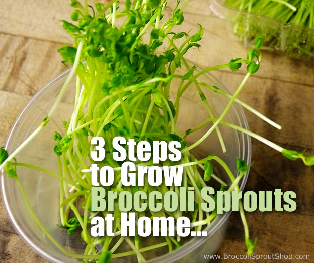 3 Steps On How To Grow Broccoli Sprouts At Home