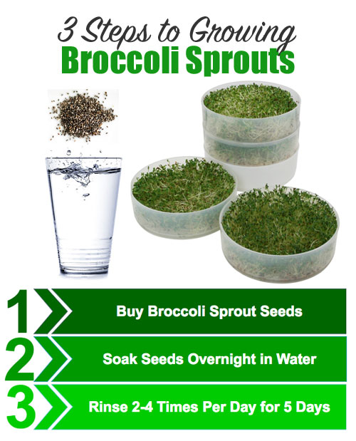 3 Steps To Growing Broccoli Sprouts